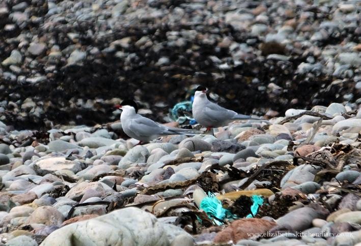 arctic terns in Shetland