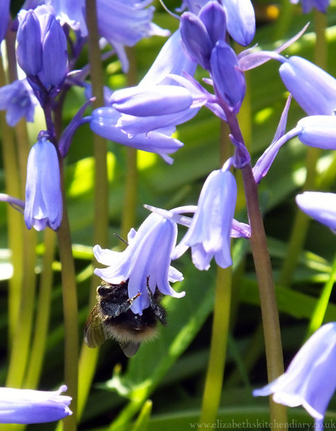 bee bluebell