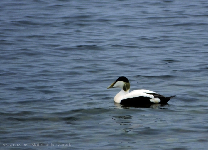 Male Eider Duck in Shetland