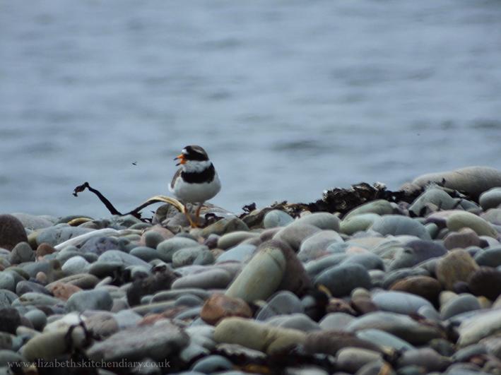 ringed plover in Shetland