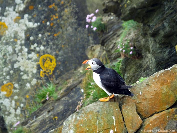 Atlantic Puffin at Sumburgh Shetland