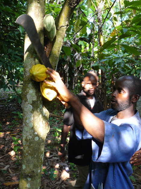 Harvesting Cocoa by Emma Tagg of Thorntons
