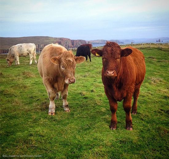 happy cattle
