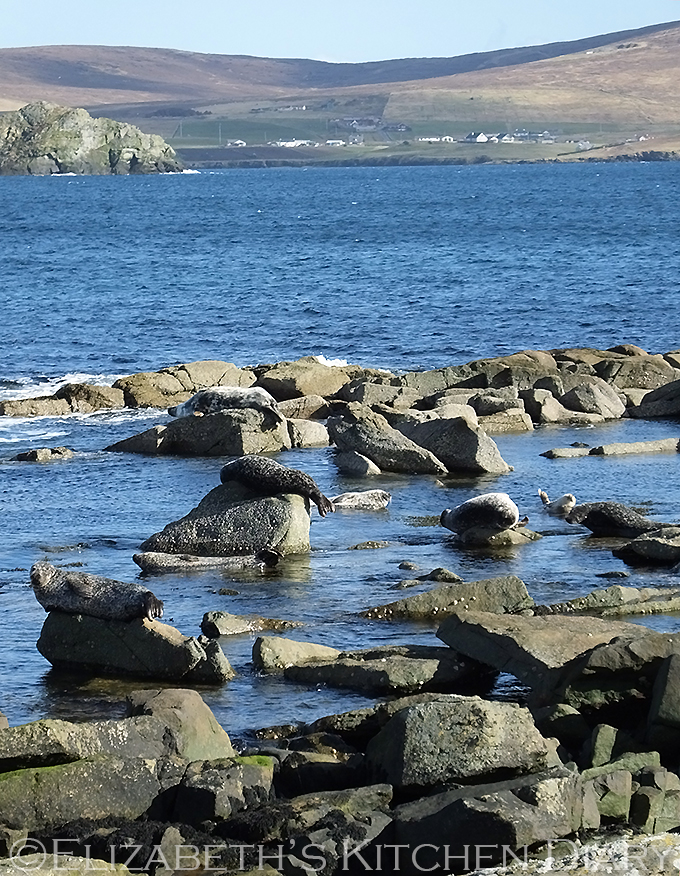 Seals outside Fjara, Shetland
