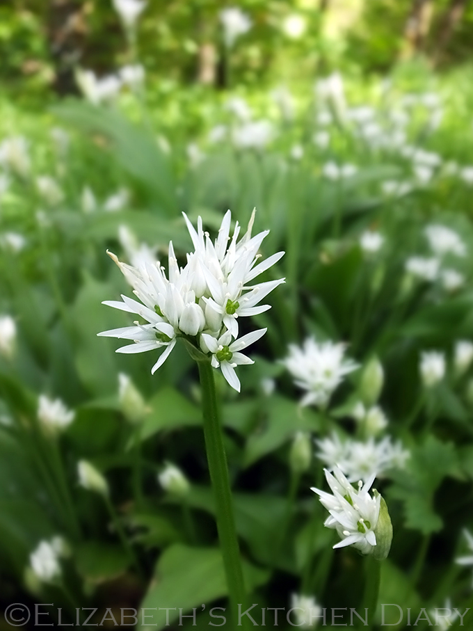 Wild Garlic in Kergord 3