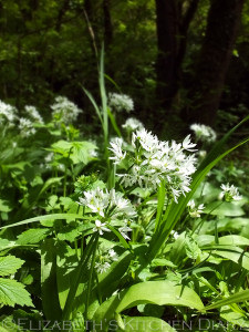 Wild Garlic in Scotland
