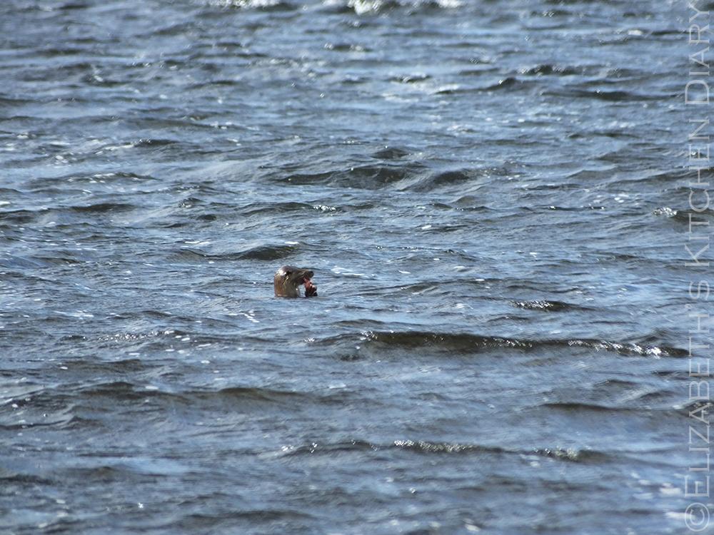 Shetland otter