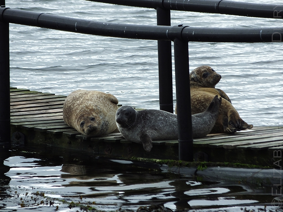 Seals at South Ham, Muckle Roe, Shetland