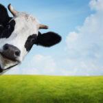 Funny Cow Face Copyright: Dudarev Mikhail via Shutterstock
