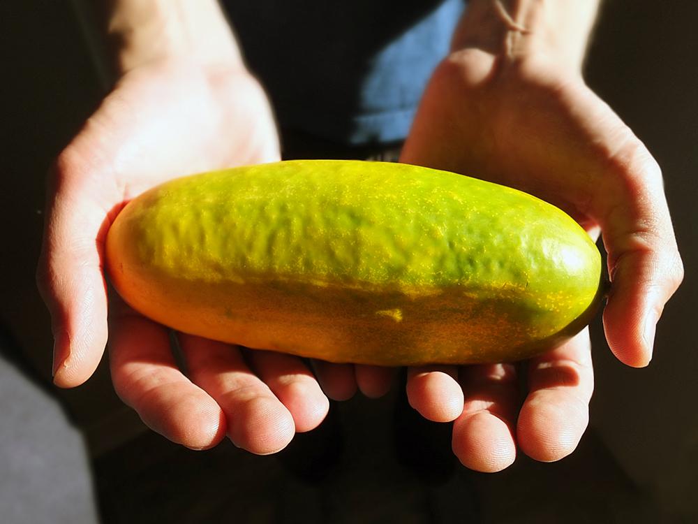 Kheera Cucumber