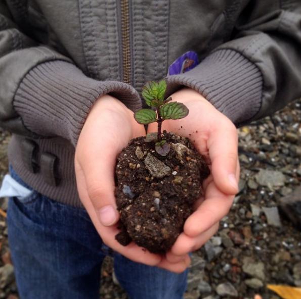 Mint seedling
