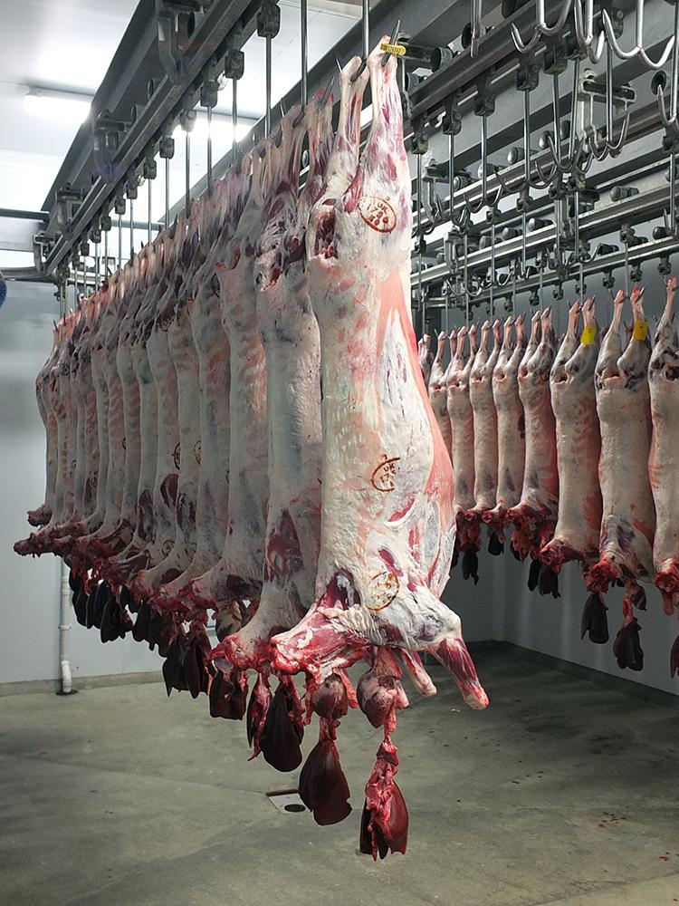 Lamb Hanging in Abattoir, Shetland Islands