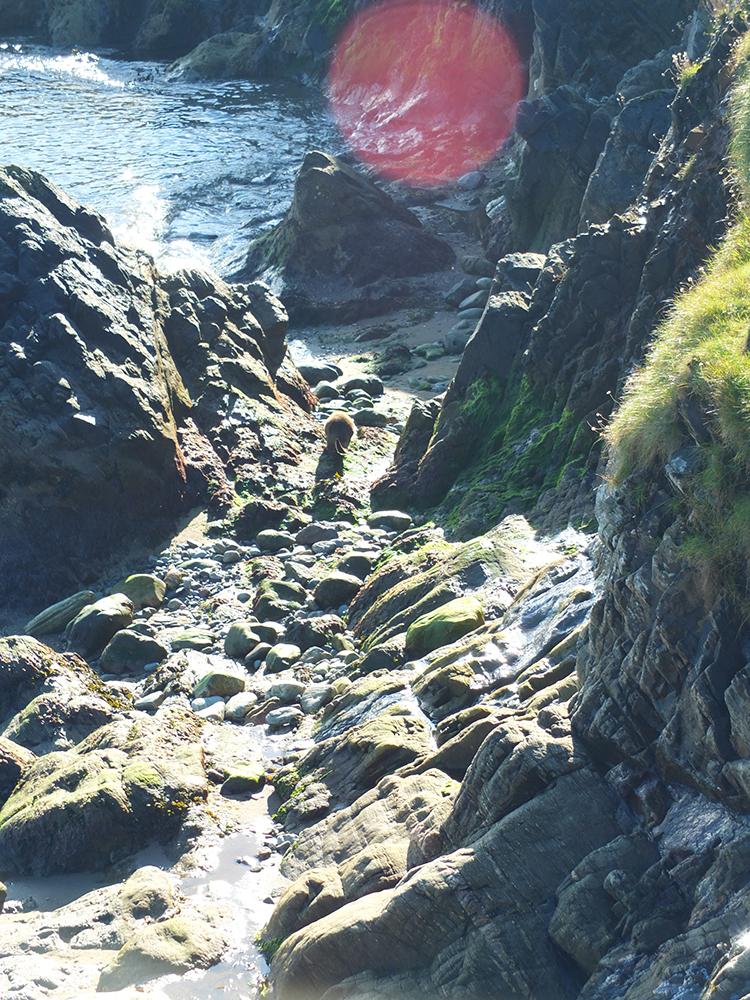Shetland Otter in Gutcher, Yell