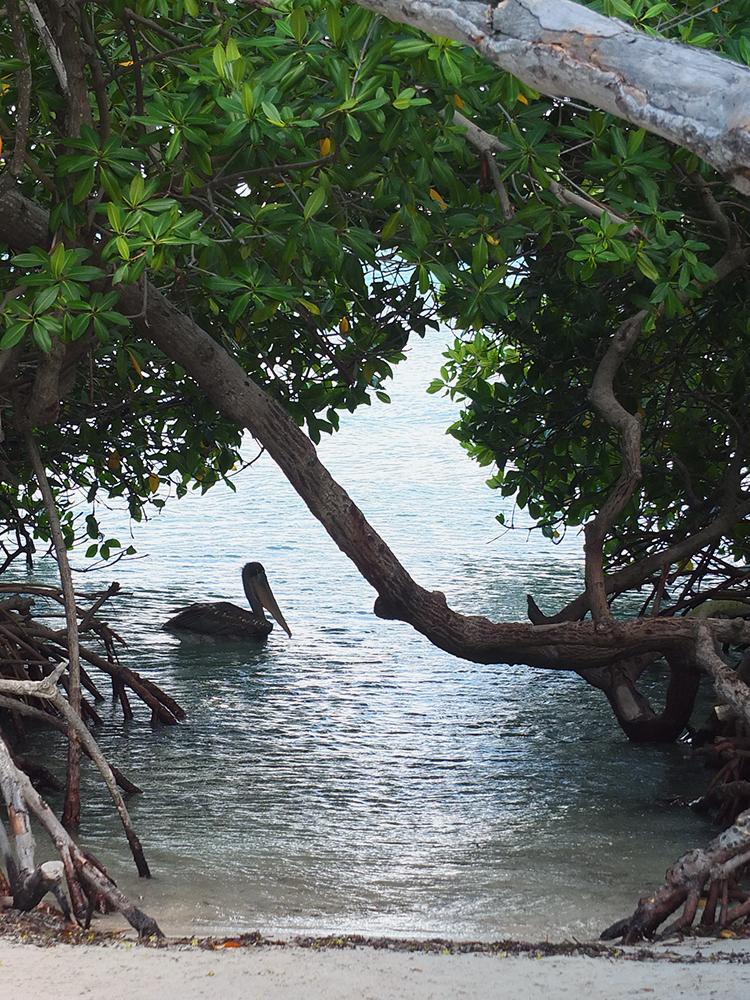 Pelican at Mangel Halto Beach Mangrove Aruba