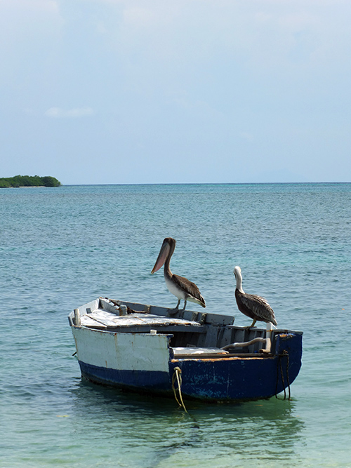 Pelicans in Aruba