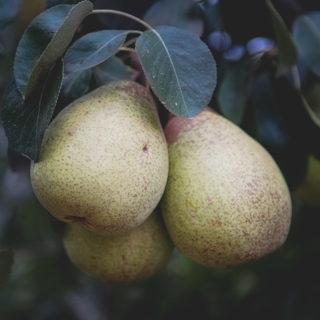 Rocha Pears Portugal