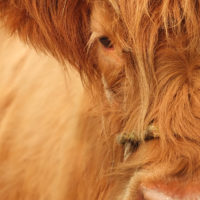 Aberdeenshire Highland Beef: A Farm to Fork Experience