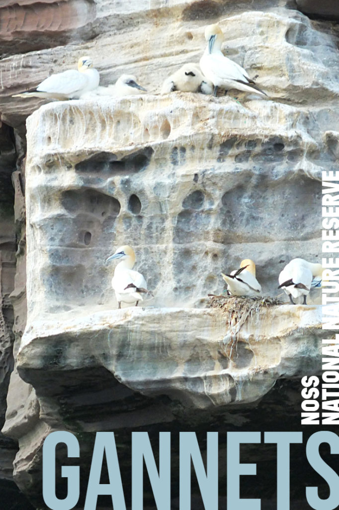 Gannets at Noss National Nature Reserve - 25,000 gannets, 181 metre cliffs one mile long #birdwatching #NatureTrust #wildlifetour #elizabethskitchendiary