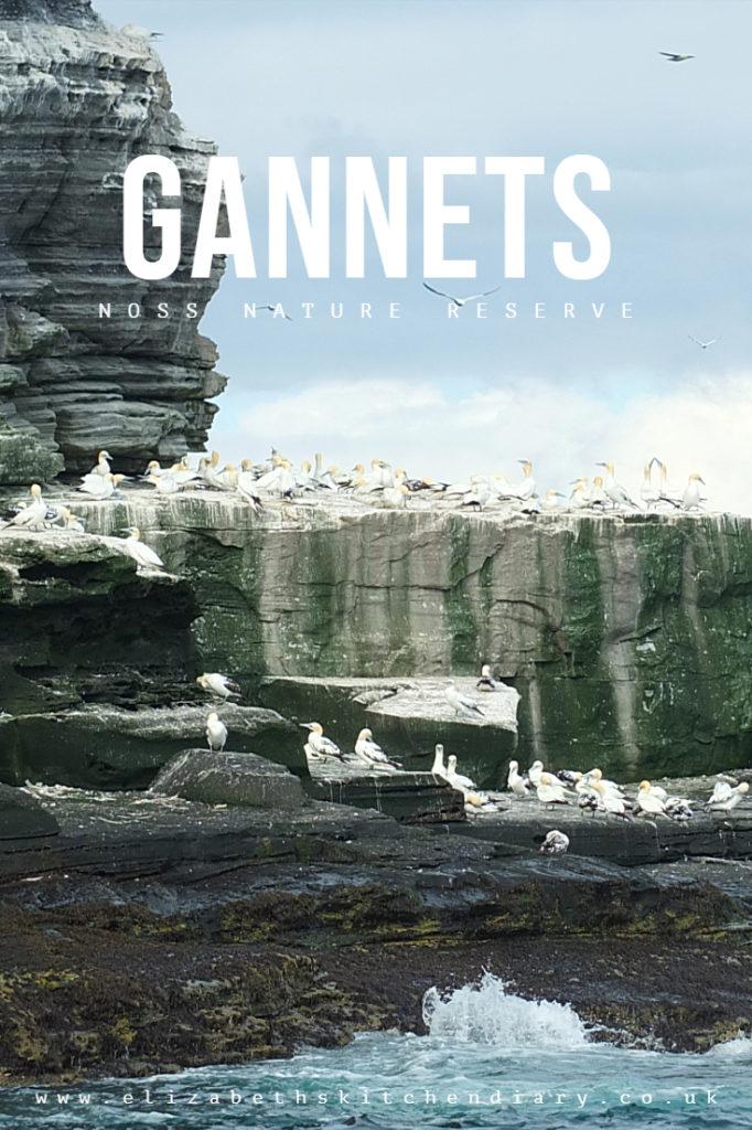 Gannets at Noss National Nature Reserve - 25,000 gannets, 181 metre cliffs one mile long #birdwatching #NatureTrust #wildlifetour #elizabethskitchendiary