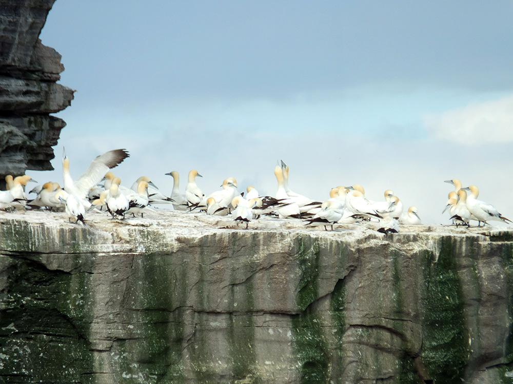 Gannets of Noss Bressay Shetland Islands