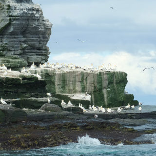 Gannets of Noss Shetland Wildlife Tour image