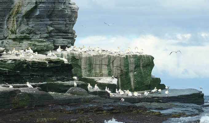 The Gannets of Noss – a Wildlife Adventure Tour