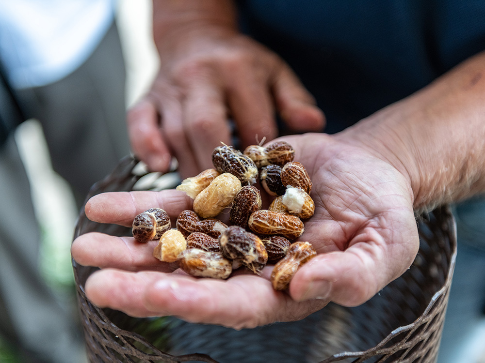 man holding various sized peanuts in hand while grading peanuts