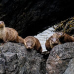 Four Shetland Otters by Nick McCaffrey