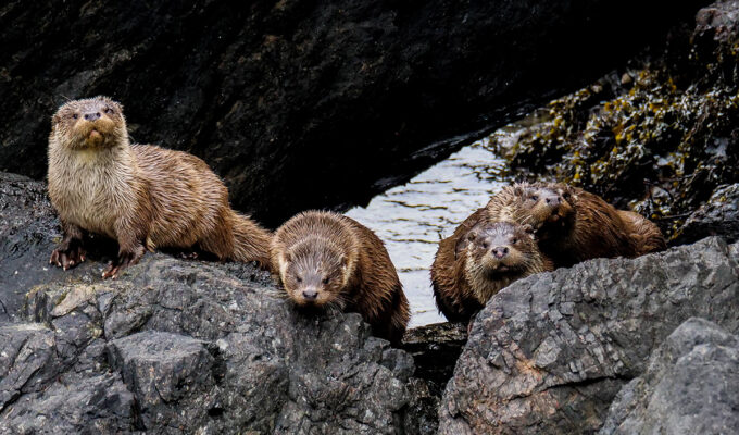 Draatsi – Surviving Lockdown with Shetland Otters