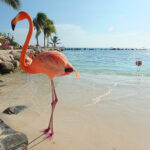 Visit the Flamingo Beach at Renaissance Aruba