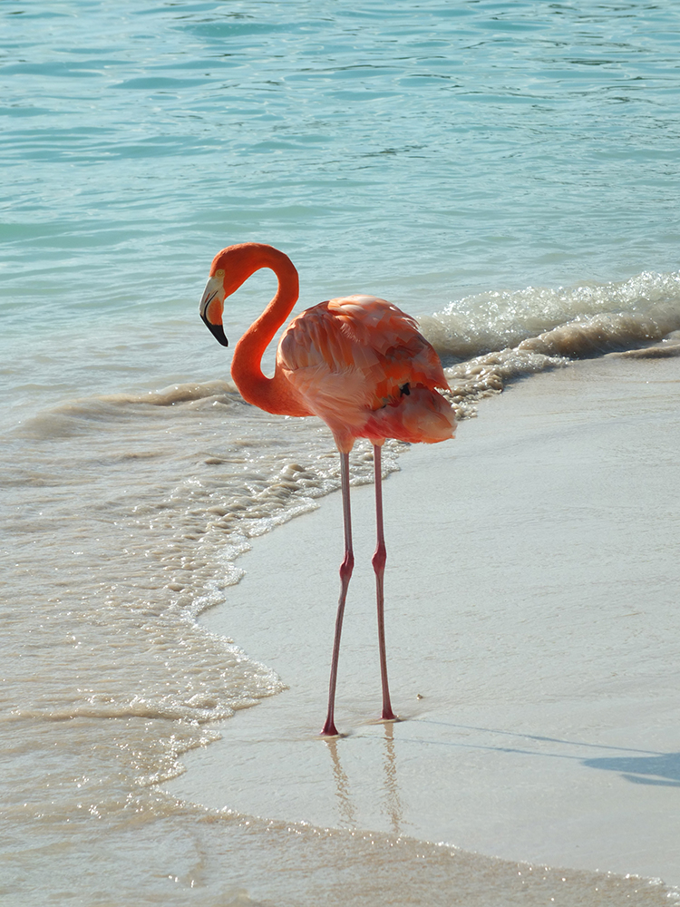 How to Visit the Flamingos in Aruba