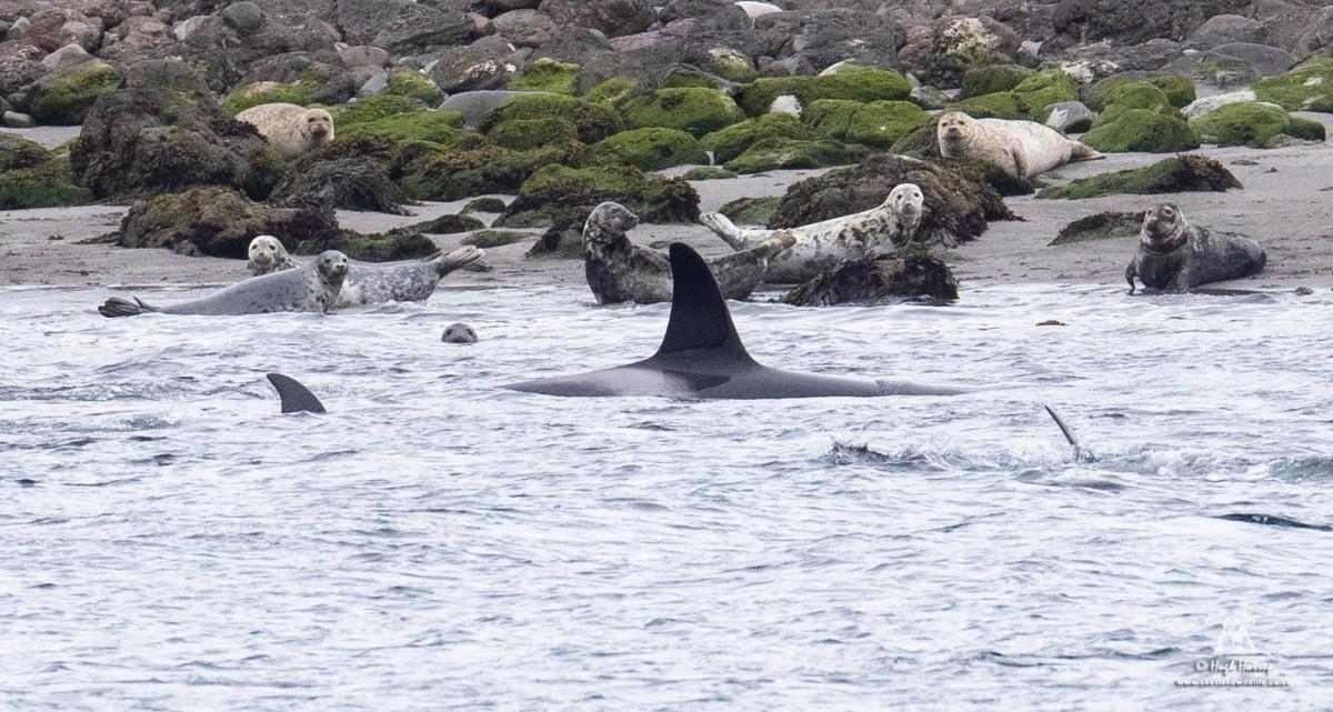 Orcas in Shetland - photo by Hugh Harrop / Shetland Wildlife