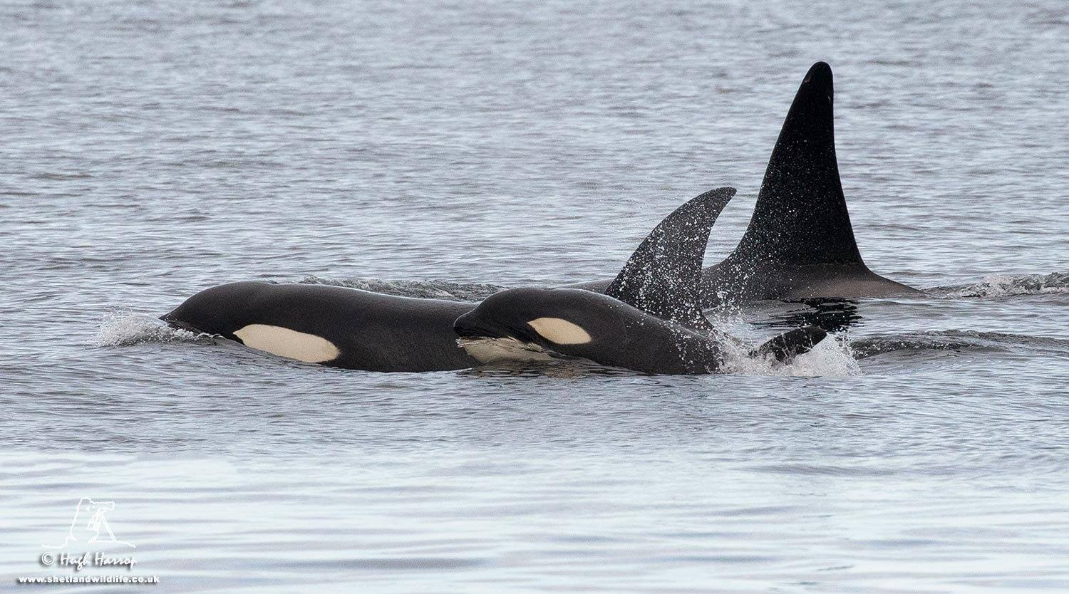 Orcas in Shetland - photo by Hugh Harrop / Shetland Wildlife