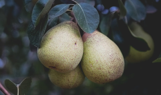 Portuguese Rocha Pears: A Farm to Fork Experience