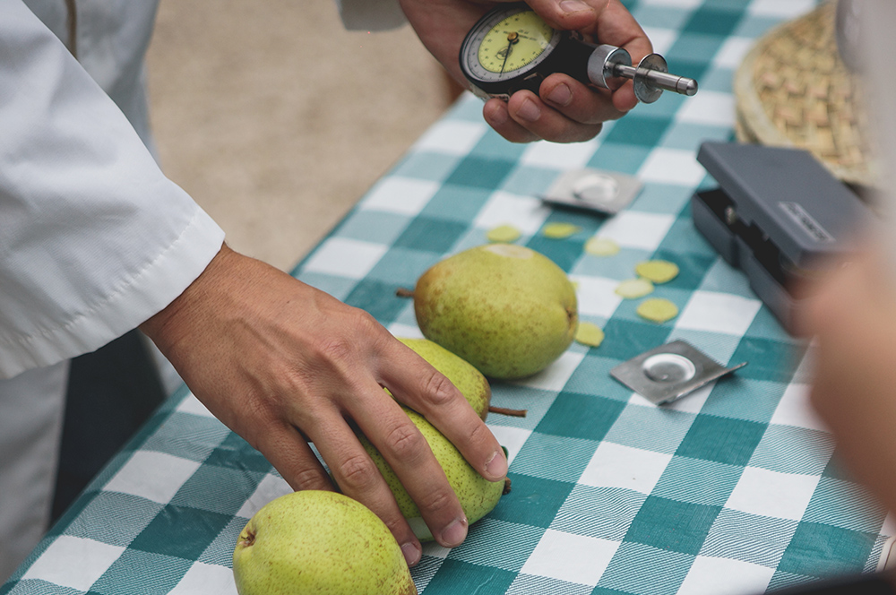 Testing Rocha Pears for ripeness